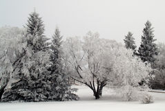 Frosty Trees. Trees covered in Hoar frost, due to a very foggy day in the middle of a Manitoba winter Stock Photography