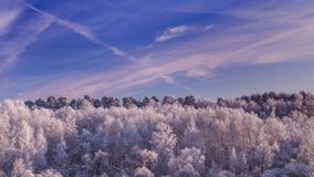 Frosty Trees in the Forest at the Evening. Frosty Trees in the Forest under Blue Sky in the Evening stock footage