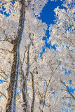 Frosty trees Royalty Free Stock Images