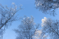 Frosty trees viewed from below Stock Image
