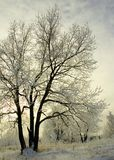 Frosty Trees In Winter. Frosty trees in the winter with snow on the ground Royalty Free Stock Image