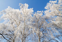 Frosty trees in winter. Stock Photos