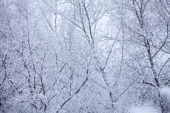 Frosty trees in winter Royalty Free Stock Photos