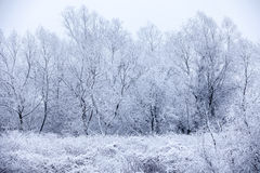 Frosty trees in winter Stock Image