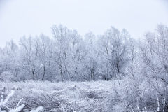 Frosty trees in winter Royalty Free Stock Photo
