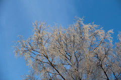 Frosty trees in winter a sunny day Stock Image