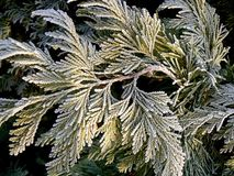 Frosty twig. Frost covered thuja's twig royalty free stock photography