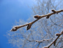 Frosty twig with buds Royalty Free Stock Photo