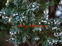 Frosty Utah Juniper Christmas foto de stock