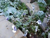 Frosty violet bush Royalty Free Stock Image