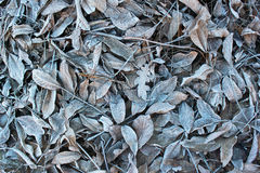 Frosty walnut leaves. Late fall background Royalty Free Stock Image