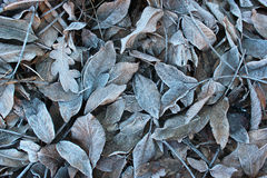 Frosty walnut leaves. Late fall background Stock Image