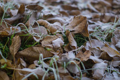 Frosty walnut leaves Stock Images