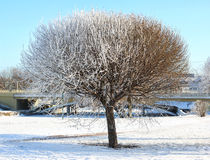 Tree with a dense crown, half frozen. Stock Photography