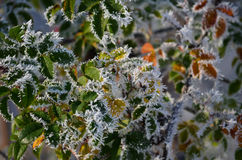 Frosty wild rose leaves Royalty Free Stock Photo