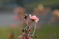 Frosty wild roses Stock Photos
