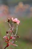 Frosty wild roses Stock Image