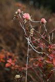 Frosty wild roses Royalty Free Stock Images