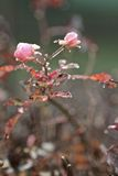 Frosty wild roses Royalty Free Stock Image