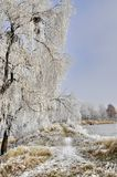 Winter background with frost covered willow tree  Royalty Free Stock Images