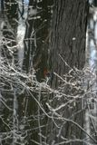 Red Headed WoodPecker in a a tree one winter afternoon stock photo