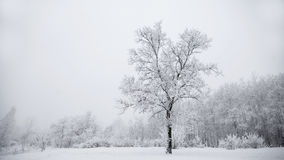 Frosty winter landscape with a detached snowy tree Stock Photography