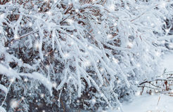 Free Frosty Winter Landscape In Snowy Forest. Pine Branches Covered With Snow In Cold Weather. Christmas Background With Fir Trees Stock Photography - 81226052