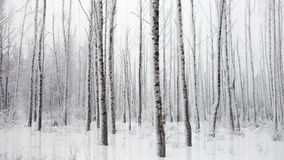 Frosty winter landscape with snowy birches Royalty Free Stock Photos