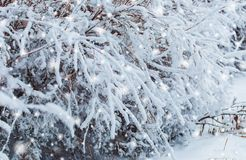 Frosty winter landscape in snowy forest. Pine branches covered with snow in cold weather. Stock Image