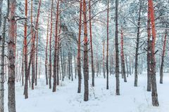 Frosty winter landscape in snowy forest. Pine branches covered with snow in cold weather. royalty free stock images
