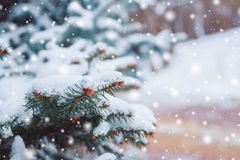 Frosty winter landscape in snowy forest. Pine branches covered with snow in cold winter weather. Christmas background with fir trees and blurred background of Royalty Free Stock Image