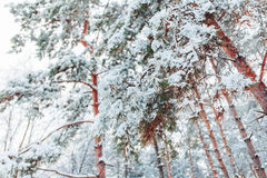 Frosty winter landscape in snowy forest. Pine branches covered with snow in cold winter weather. Christmas background Stock Photos