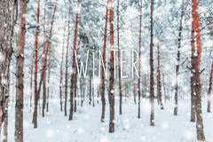 Frosty winter landscape in snowy forest. Pine branches covered with snow in cold winter weather. Christmas background with fir. Trees and blurred background of Royalty Free Stock Photo