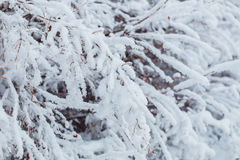 Frosty winter landscape in snowy forest. Pine branches covered with snow in cold winter weather. Christmas background with fir Royalty Free Stock Photography