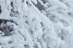 Frosty winter landscape in snowy forest. Pine branches covered with snow in cold winter weather. Christmas background with fir Stock Images