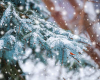 Frosty winter landscape in snowy forest. Pine branches covered with snow in cold winter weather. Christmas background with fir Stock Image
