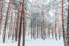 Frosty winter landscape in snowy forest. Pine branches covered with snow in cold winter weather. Christmas background with fir trees and background of winter Stock Photography