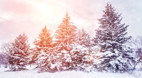 Frosty winter landscape in snowy forest. Pine branches covered with snow in cold winter weather. royalty free stock photos