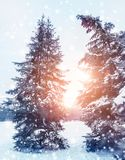 Frosty winter landscape in snowy forest. Pine branches covered with snow in cold winter weather. Christmas background with fir trees stock photo