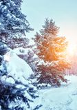 Frosty winter landscape in snowy forest. Pine branches covered with snow in cold winter weather. Christmas background with fir trees royalty free stock image