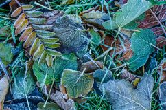 Frosty Winter Leaves Royalty Free Stock Image