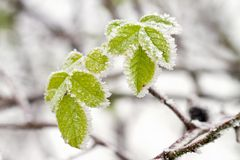 Frosty winter leaves Royalty Free Stock Images