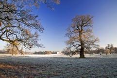 Frosty Winter Oak Tree Stanford Hall Stockfotos