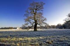 Frosty Winter Oak Tree Stanford Hall Stockfoto
