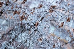 Frosty winter plant branch close-up covered with white snow Stock Image