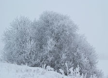 Frosty Winter Shrub. A bird cherry bush covered with frost on a cold, misty afternoon  in January. Photographed in Halikko, Finland Royalty Free Stock Images