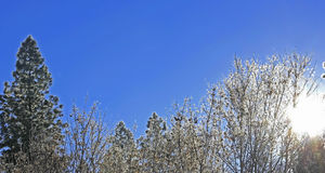 Frosty winter trees against clear blue sky Royalty Free Stock Photo