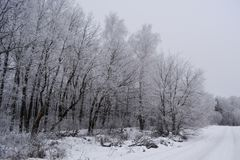 Frosty winter trees in cold cloudy day. Wintry forest.  stock image