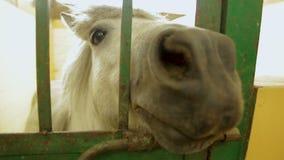 Frotando ligeramente el caballo en jaula, el potro blanco que mira la cámara, mantiene el animal cautiverio almacen de metraje de vídeo