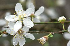 Frothy White Flowers of Wild Plum Tree - Prunus Domestica. These Frothy White Flowers of a Wild Plum Tree - Prunus Domestica - are brought to sparkling life like stock photos